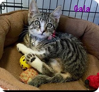 Domestic Shorthair Cat for adoption in Baton Rouge, Louisiana - Gala