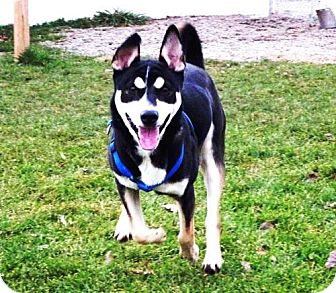 Siberian Husky/Shepherd (Unknown Type) Mix Dog for adoption in Belleville, Michigan - Rocko