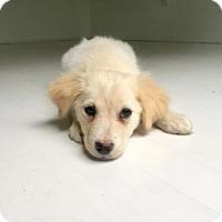 Adopt A Pet :: Indy - Spring, TX