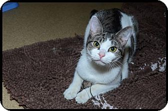 Domestic Shorthair Cat for adoption in Brick, New Jersey - Bristol