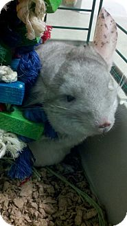 Chinchilla for adoption in Patchogue, New York - Amoroso