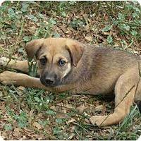 Adopt A Pet :: Shep Mix Pup - Alliance, OH