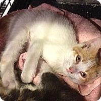 Adopt A Pet :: Daphne - Byron Center, MI