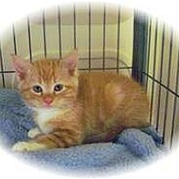 Adopt A Pet :: Corkie - Shelton, WA