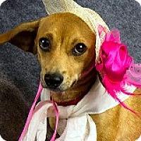 Adopt A Pet :: Sadie Satin - Houston, TX