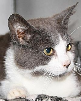Domestic Shorthair Cat for adoption in Lovingston, Virginia - Molly