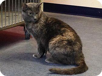 Domestic Shorthair Cat for adoption in Colorado Springs, Colorado - Vitani