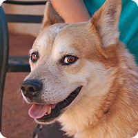 Australian Cattle Dog/Husky Mix Dog for adoption in Las Vegas, Nevada - Oz