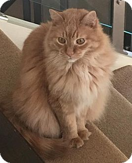 Maine Coon Cat for adoption in Lutherville, Maryland - Sammi