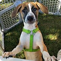 Adopt A Pet :: Luna - Wichita Falls, TX