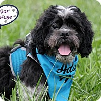 Shih Tzu/Cocker Spaniel Mix Dog for adoption in Lee's Summit, Missouri - Gavin