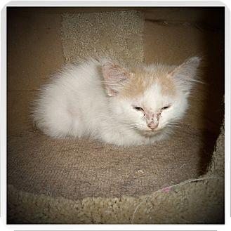 Maine Coon Kitten for adoption in Medford, Wisconsin - FLYNN