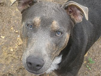 Australian Shepherd Mix Dog for adoption in Harrisburgh, Pennsylvania - Trick
