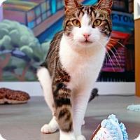 Domestic Shorthair Cat for adoption in Oakland, California - Zephyr