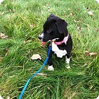 Adopt A Pet :: Starburst - New York, NY