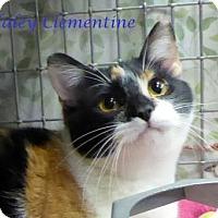 Domestic Shorthair Cat for adoption in Kansas City, Missouri - Haley Clementine