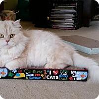 Persian Cat for adoption in Alpharetta, Georgia - Gimli