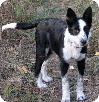 Border Collie/Blue Heeler Mix Puppy for adoption in Colville ...