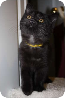 Domestic Shorthair Kitten for adoption in Union, Kentucky - Snuggles
