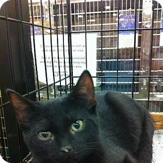 Domestic Shorthair Kitten for adoption in Pittstown, New Jersey - Batman