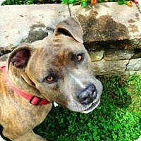Adopt A Pet :: Russell- PAW Rescue - Fredericksburg, VA