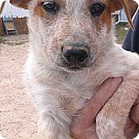 Adopt A Pet :: DJ (Dozer Jr) - Colorado Springs, CO