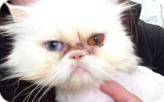 Persian Cat Rescue Ri