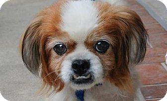 Pekingese Mix Dog for adoption in Tampa, Florida - EDGAR (LM)