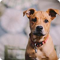 Adopt A Pet :: Joey - Portland, OR