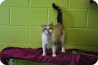 Siamese Cat for adoption in Dublin, Virginia - JC