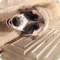 Adopt A Pet :: Sully  *Adopted - Tulsa, OK