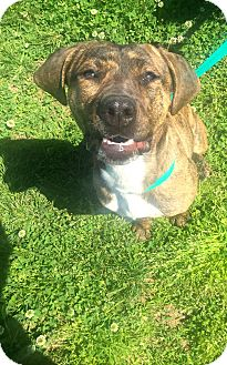 Beagle/Boxer Mix Dog for adoption in Gallatin, Tennessee - Lexi