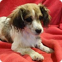 Adopt A Pet :: Blossom - Vacaville, CA