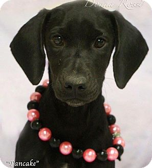Labrador Retriever/Hound (Unknown Type) Mix Puppy for adoption in Effort, Pennsylvania - Pancake