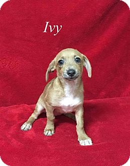 Yorkie, Yorkshire Terrier/Chihuahua Mix Puppy for adoption in Chester, Illinois - Ivy