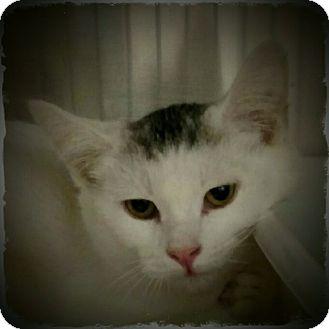 Domestic Shorthair Kitten for adoption in Pueblo West, Colorado - Mango Jerrie