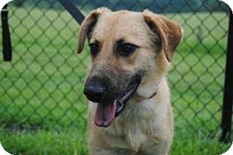 German Shepherd Dog/Labrador Retriever Mix Dog for adoption in Berkeley Heights, New Jersey - Julie
