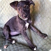 Adopt A Pet :: Darla - North Brunswick, NJ