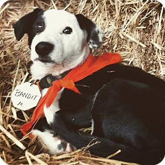 Border Collie Mix Puppy for adoption in Lakeport, California - Bandit
