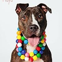 Pit Bull Terrier/Labrador Retriever Mix Dog for adoption in Houston, Texas - Maya