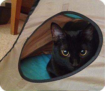 Domestic Shorthair Cat for adoption in Houston, Texas - Peaches