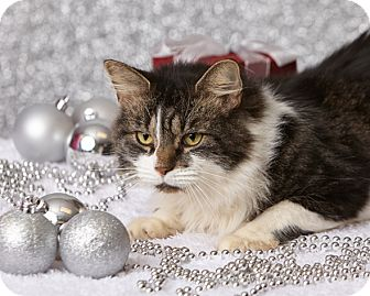 Domestic Longhair Cat for adoption in Harrisonburg, Virginia - Purrcival