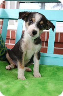 Beagle/Pomeranian Mix Puppy for adoption in Staunton, Virginia - Callen