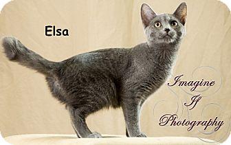 Domestic Shorthair Cat for adoption in Oklahoma City, Oklahoma - Elsa