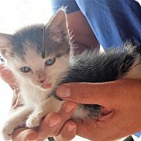 Adopt A Pet :: 412897 Q - San Antonio, TX