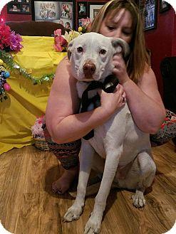 Greyhound/Labrador Retriever Mix Dog for adoption in Chiefland, Florida - Salty