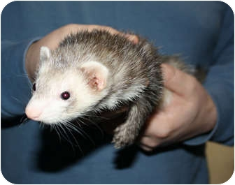 Ferret for adoption in Pinesville, Oregon - Deliah