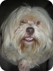 Maltese/Lhasa Apso Mix Dog for adoption in Sacramento, California - Michael