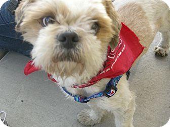 Shih Tzu/Lhasa Apso Mix Dog for adoption in Las Vegas, Nevada - Cowboy
