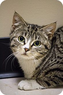 Egyptian Mau Cat for adoption in Chicago, Illinois - Ladybug